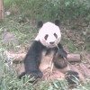 A happy panda, Chengdu.