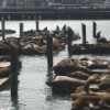 The Sea Lions of Pier 39, San Francisco.